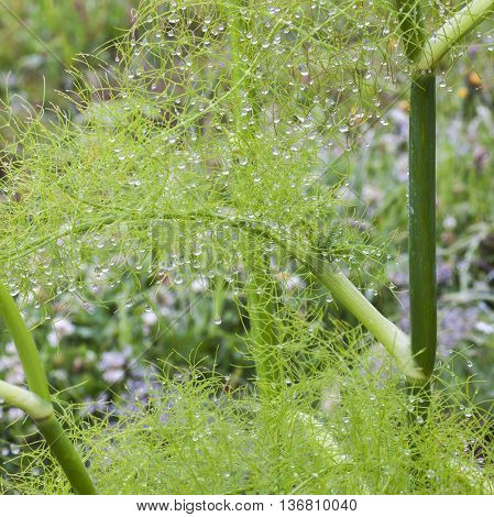 Beautiful feathery leaves and dew on fennel herb plant.