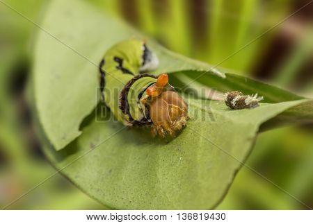 Common Mormon caterpillar sitting on a leaf