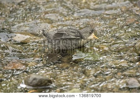Dipper Juvenile On A Rock In A River, Squawking