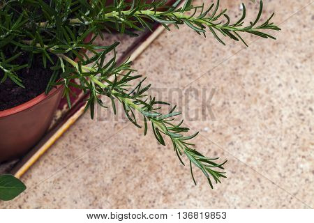Rosemary herb leaves, culinary cuttings in young plant. With text / copy space.