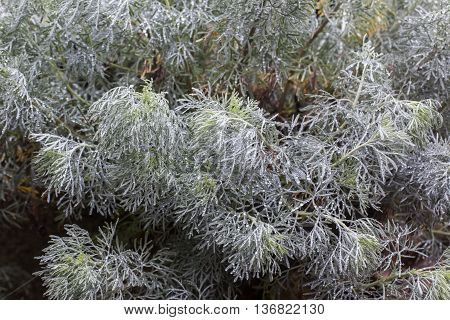 Beautiful wormwood (Artemisia absinthum) silver feathery leaves in garden.