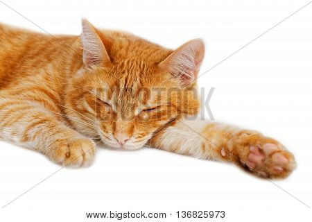 Portrait of a red cat dozing on white background