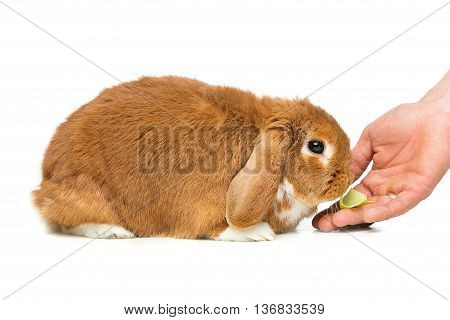 Adorable red domestic lop-eared rabbit eating cabbage from human hand isolated over white background. Copy space.