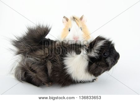 Newborn guinea pig baby and its mother (on the white background)