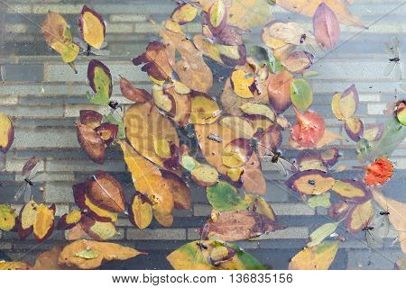Yellow autumn leave float at surface of pool