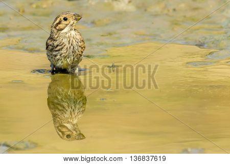 Cirl Bunting - Emberiza cirlus female drinking water