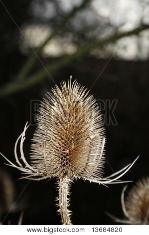 teasel seed head