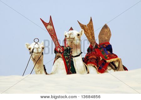 Two Tuareg nomad camels with saddles resting and facing forward behind a sand dune poster