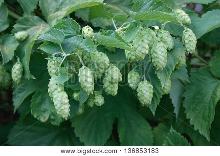 The umbels of a hop plant (Humulus)