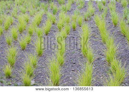 Green ornamental grass in series on slate floor