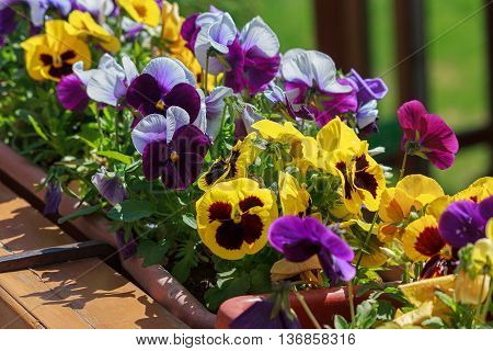 Multi-colored petunias in the flowerbed close-up. Flowers
