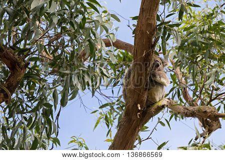 Closeup of cute wild Koala Bear sleeping resting on Eucalyptus Gum tree branch against blue sky in the forest, Australia