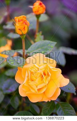 Bush Of Selective Yellow Garden Roses