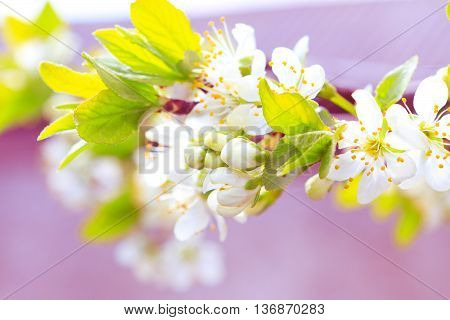 fragile flowers of apple trees in the spring selective focus poster