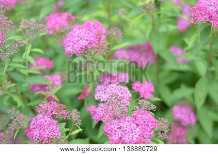 Pink abstract floral background, soft focus, spring nature, blooming meadow