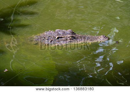 Crocodile in green water lake. Close up