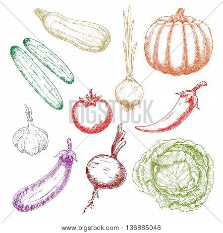 Ripe autumnal pumpkin and tomato, green crunchy cabbage and cucumbers, onion and eggplant, sweet juicy beetroot and zucchini, pungent garlic and chili pepper sketches. Agriculture harvest design usage