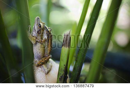 Foto van kikkers die paren in het riet.