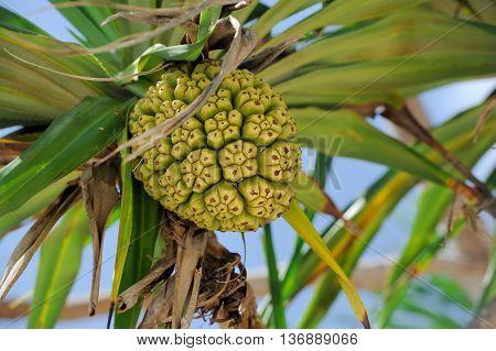 Seeds Of Sea Pandanus Or Screw Pine Plant Tree