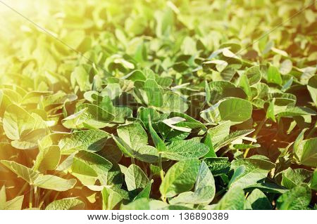 Green Soya Leaves And Bushes