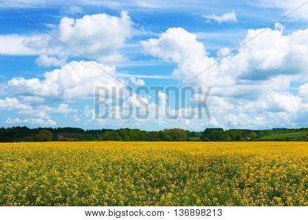 Rape crop in farmer's field with summer blue sky