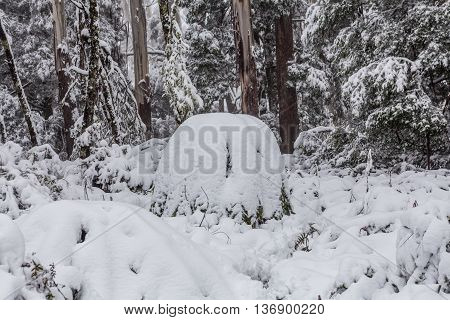 Snow Covered Eucalyptus Trees And Ferns In Australia