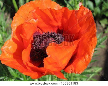 Blown poppy flower close-up on a poppy field