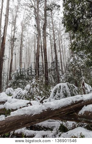 Snow Laying On Fallen Trees And Ferns In Australian Eucalyptus Forest