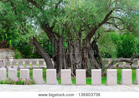 Old olive tree in Mirovice district in town of Bar Montenegro. It is considered now oldest in Europe has age of more than 2000 years