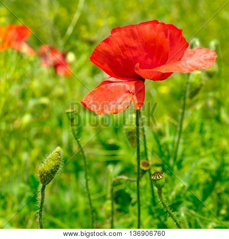 wild poppies herbaceous plant with showy flowers milky sap and rounded seed capsules poster