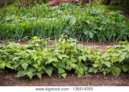 vegetable garden with beds in rows planted in crop rotation with organic bush beans onions and more for a healthy nutrition