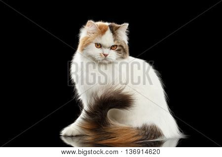 Portrait of Angry Scottish Highland Straight Cat, waving his tail, White with Red Color of Fur, Isolated Black Background, Side view, Grumpy Face