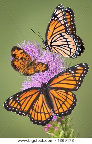 Three butterflies gather on a fragrant plant. poster
