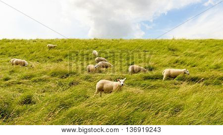 Group of sheep grazing in the tall grass on the of a Dutch dike. One sheep looks curiously at the photographer.