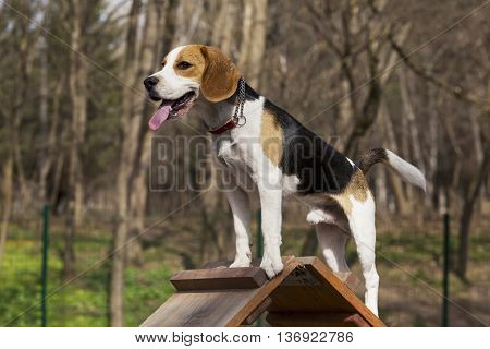 the dog breed beagle overcomes an obstacle