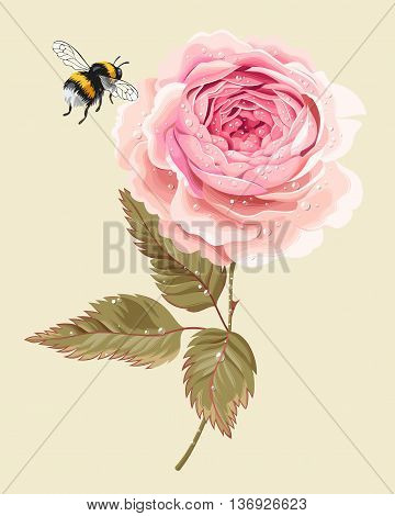 Vector illustration of beautiful vintage rose with dew drops and flying bumblebee
