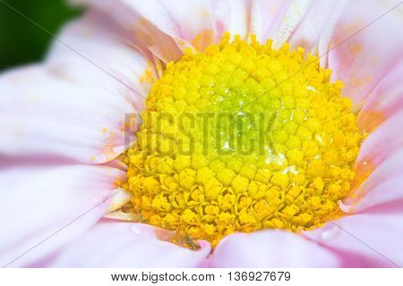 Close up yellow carpel in pink flower