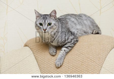 Beautiful portrait of grey cat, Portrait of green-eyed cat isolated on yellow background. Kitten resting on a sofa close up, domestic pet resting