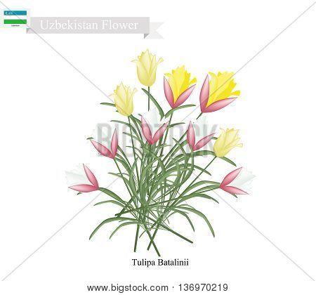 Uzbekistan Flower Illustration of Yellow Tulipa Batalinii Flowers or Bright Gem Flowers. One of The Most Popular Flower of Uzbekistan.