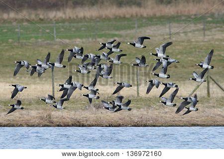 Barnacle geese (Branta leucopsis) in flight in their natural habitat