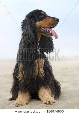 black and tan cocker spaniel on the beach