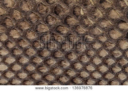 Genuine snakeskin. Leather texture background. Closeup photo. Skin reptiles such as python or cobra. poster