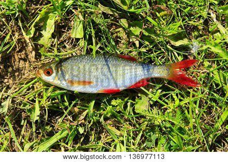 fresh caught rudd laying on the grass