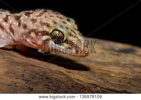 Mediterranean house gecko (Hemidactylus turcicus) also called Turkish gecko or moon lizard on log