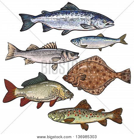 Sketch style sea fish collection, vector illustration isolated on white background. Set of colorful realistic sketches of edible sea fish. Tuna herring sea bass flatfish perch carp