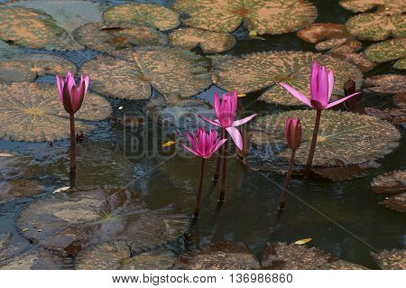 Red blossoming lotus in a pond, Nelumbo nucifera