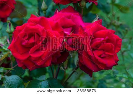 Red roses blossom in the garden close up