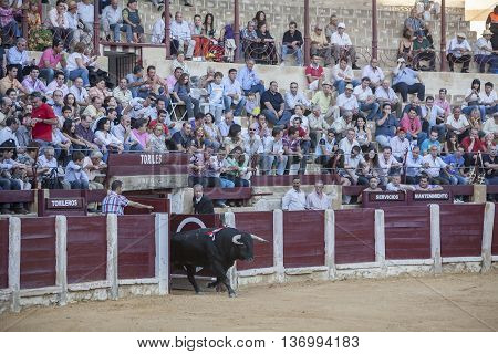 Ubeda Spain - September 29 2010: Capture of the figure of a brave bull in a bullfight going out of bullpens Ubeda Spain