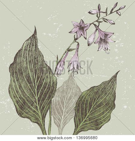Hand drawn hosta flower in retro style