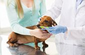 medicine, pet, animals, health care and people concept - close up of woman with dachshund and veterinarian doctor brushing dog teeth with toothbrush at vet clinic poster